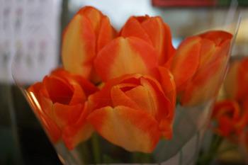 チューリップのお花.jpg